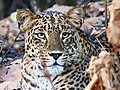 Spotted leopard as close as 4-5 feet.jpg