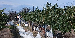 Canberra District wine region - Riesling being picked early, February 2007 (due to the drought in Australia)