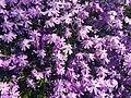 Spring wildflower (26463047126).jpg