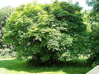 Crossosomatales - Staphylea colchica