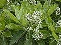Starr-010520-0071-Tournefortia argentea-leaves and flowers-Along coast-Kure Atoll (23904582274).jpg