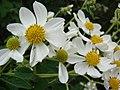 Starr-081230-0657-Montanoa hibiscifolia-flowers-Upper Kaulana-Kahoolawe (24833887891).jpg