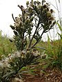 Starr-081230-0727-Conyza bonariensis-fruiting habit-LZ1-Kahoolawe (24296773594).jpg