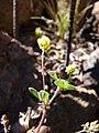 Starr-090504-7161-Medicago lupulina-flowers-Science City-Maui (24327180113).jpg