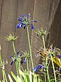 Starr-090520-8153-Agapanthus praecox subsp orientalis-deep purple flowers-Keokea-Maui (24588280239).jpg
