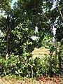 Starr-090610-0472-Pimenta dioica-habit along road-Haiku-Maui (24336777823).jpg