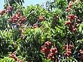 Starr-090610-0566-Litchi chinensis-fruit and leaves-Haiku-Maui (40458119235).jpg
