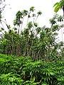 Starr-090618-1094-Costus speciosus-habit-Hana Hwy-Maui (24670115330).jpg