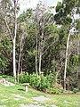 Starr-090707-2384-Zea mays-home garden-Olinda-Maui (24851028952).jpg