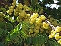 Starr-090714-2686-Phyllanthus acidus-fruit and leaves-Napili-Maui (24969579015).jpg