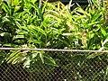 Starr-090714-2701-Alpinia zerumbet-flowering and variegated habit-Napili-Maui (24851606822).jpg
