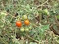 Starr-090814-4323-Solanum lycopersicum-fruit-Industrial area Mokulele Hwy-Maui (24878932591).jpg