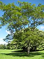 Starr-091104-0794-Albizia zygia-habit-Kahanu Gardens NTBG Kaeleku Hana-Maui (24961297646).jpg
