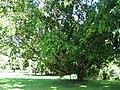 Starr-091104-0804-Calophyllum inophyllum-habit-Kahanu Gardens NTBG Kaeleku Hana-Maui (24357029784).jpg