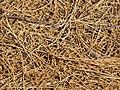 Starr-091221-0773-Tamarix aphylla-leaf duff-Honokanaia-Kahoolawe (24873225872).jpg