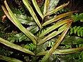 Starr-101219-5590-Pteris cretica-frond and sori-Waihou Springs-Maui (24964782311).jpg