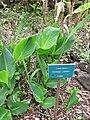 Starr-110307-2261-Canna indica-habit with sign-Kula Botanical Garden-Maui (24451028333).jpg