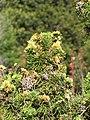 Starr-110331-4348-Juniperus chinensis-Kaizuka needles-Shibuya Farm Kula-Maui (24786009310).jpg