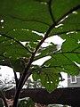 Starr-110502-5423-Solanum melongena-leaves with hail damage-Hawea Pl Olinda-Maui (25068313686).jpg