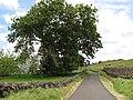 Starr-110601-6042-Carya illinoinensis-habit-Keokea-Maui (24469732973).jpg