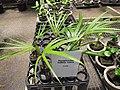 Starr-120522-6598-Hyophorbe indica-in pots-Iao Tropical Gardens of Maui-Maui (25143989605).jpg