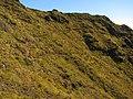 Starr-121018-1020-Hypochoeris radicata-habitat with Kim-Halemauu Trail HNP-Maui (25167967226).jpg