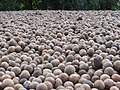 Starr-130214-1530-Macadamia integrifolia-lots of nuts-Waihee-Maui (25205668295).jpg