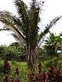 Starr-140222-0387-Elaeis guineensis-habit-Hana Hwy-Maui (24613821233).jpg