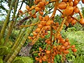 Starr-141027-2652-Chrysalidocarpus lutescens-fruit-Nahiku-Maui (24616210994).jpg