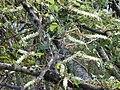 Starr 011025-0012 Anredera cordifolia.jpg