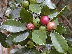 Psidium Wikispecies