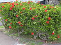 Starr 030612-0073 Hibiscus rosa-sinensis.jpg