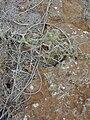 Starr 031015-0271 Ipomoea cairica.jpg