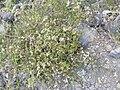 Starr 040131-0062 Ageratina riparia.jpg