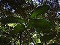 Starr 040601-0011 Alectryon macrococcus var. macrococcus.jpg