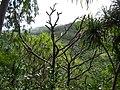 Starr 050107-2861 Pandanus tectorius.jpg