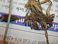 Starr 050427-0641 Cyperus polystachyos.jpg