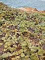 Starr 050519-6857 Solanum nelsonii.jpg