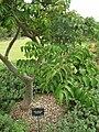 Starr 060329-6806 Munroidendron racemosum.jpg