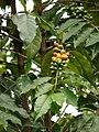 Starr 070308-5473 Coffea arabica.jpg