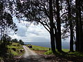 Starr 070908-9450 Eucalyptus globulus.jpg