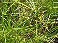 Starr 080209-2715 Cyperus gracilis.jpg