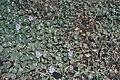 Starr 980401-1345 Eichhornia crassipes.jpg