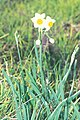 Starr 990107-3128 Narcissus tazetta.jpg