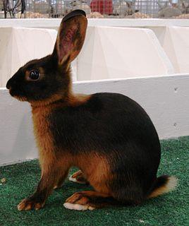 Tan rabbit rabbit breed
