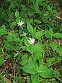 Stellaria nemorum01.jpg