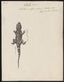 Stellio vulgaris - 1700-1880 - Print - Iconographia Zoologica - Special Collections University of Amsterdam - UBA01 IZ12700075.tif
