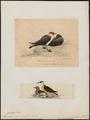 Stercorarius pomarinus - 1700-1880 - Print - Iconographia Zoologica - Special Collections University of Amsterdam - UBA01 IZ17900186.tif