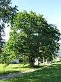 Stieleiche (Naturdenkmal) in Bezau von Süden.JPG