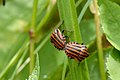Striped Shield Bugs mating (5977021158).jpg